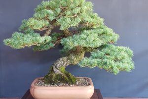 Pinus P