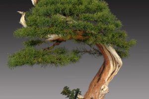 juniperus media