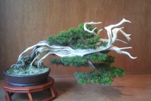 juniperus windswept